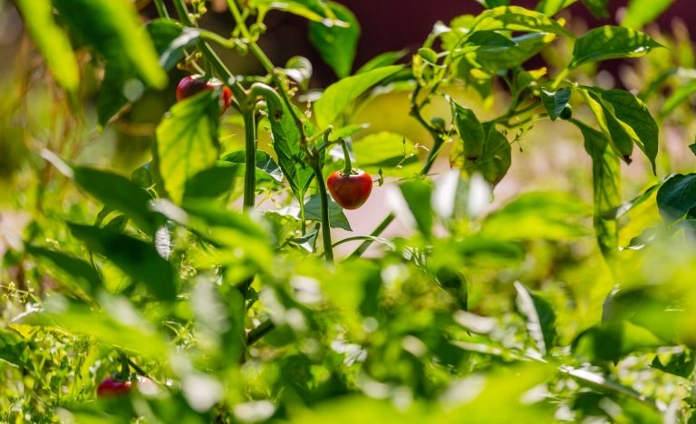 Summer garden with tiny tomatoes
